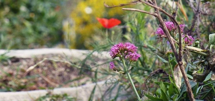 Flowers on the hiking trails above Manarola