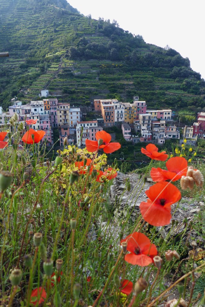 Poppies near Manarola hiking trails